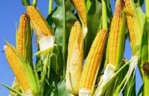 漫谈|玉米全托管服务让多方受益