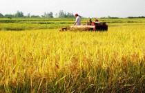 今年秋粮生产形势总体较好:稻菽飘香 丰收在望
