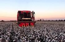 新疆棉花大规模采摘将拉开帷幕
